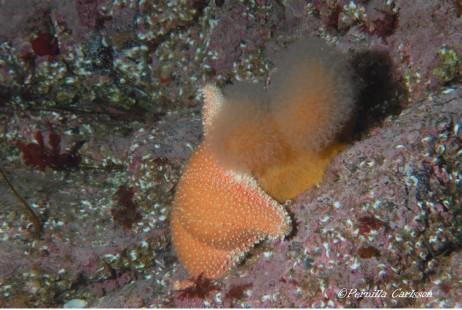 sjøstjerne-dødmanshand